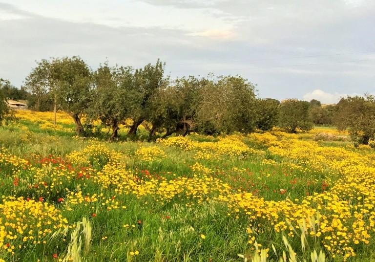 olive groves near Modica